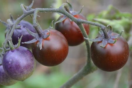 Tomate indigo Blue Berries