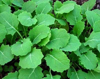 Chou frisé/kale Hanover Salad
