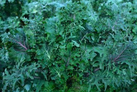 Chou frisé/kale sibérien Wild Garden Kale Mix