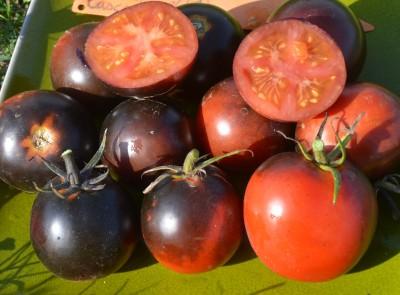 """Variété de tomate Indigo créée par Tom Wagner, """"Cascade Village Blue"""""""
