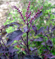 Basilic Tulsi Krishna à feuilles rouges