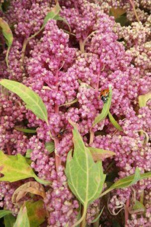 Quinoa biobio