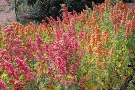 Quinoa Brightest-Brilliant Rainbow