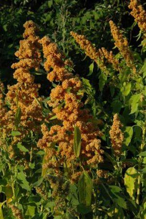 Quinoa French Vanilla