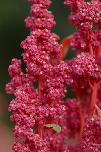Quinoa Red Head