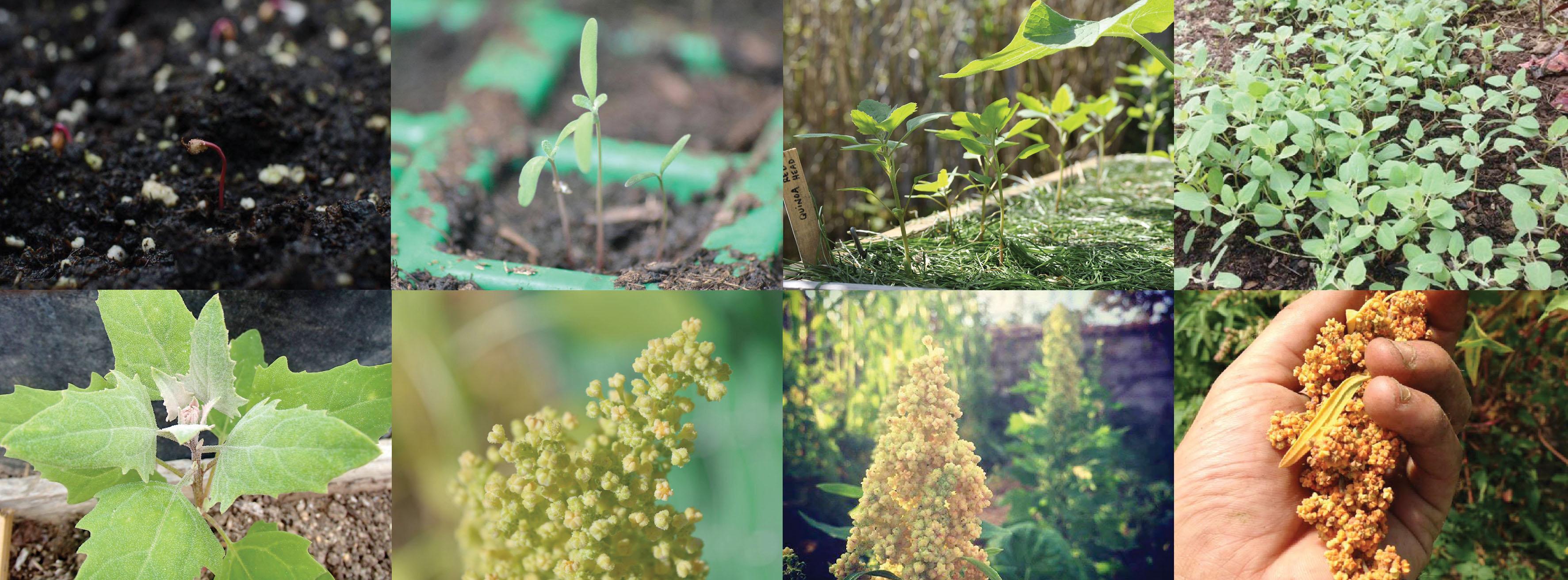 Évolution de la Quinoa, photos réalisées par les participants de la campagne.