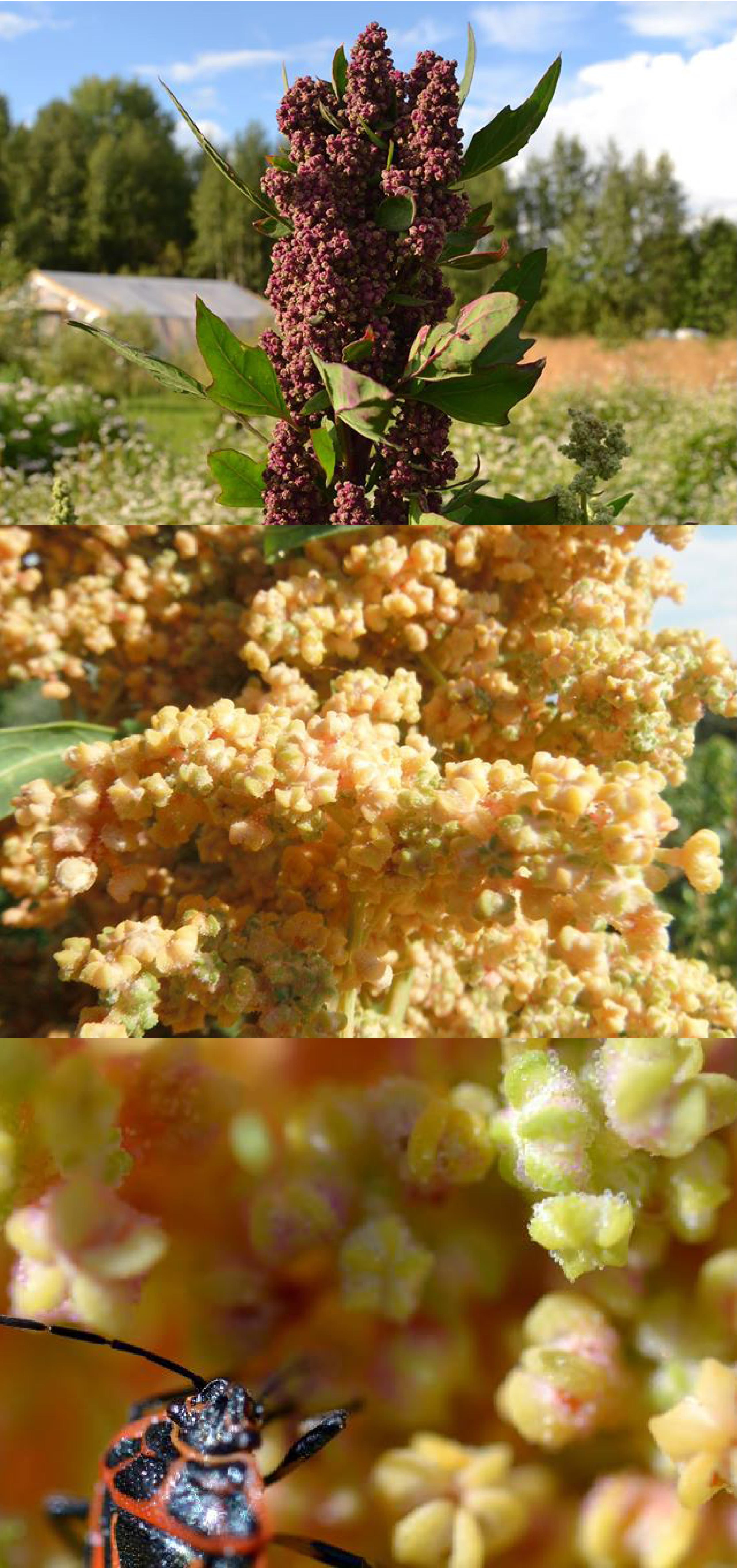 Quinoa, photos réalisées par des participants de la campagne.