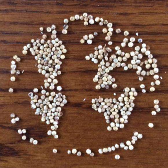 Graines de quinoa, photo réalisée par un participant de la campagne.