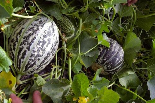 Michel Lachaume oeuvre au Canada à la conservation du Melon de Lunéville