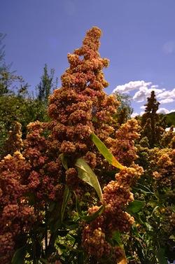 Quinoa Red Faro