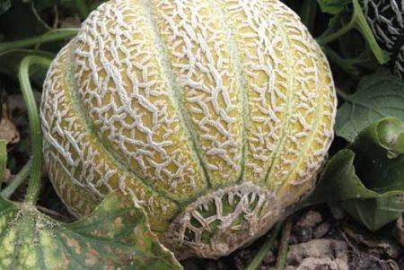 Melon Jenny Lind