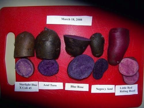 Pommes de terre violette