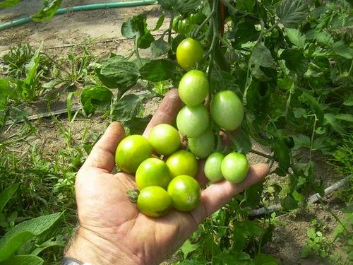 Tomates de Tom Wagner