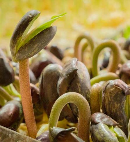 Test de germination de semences de haricot
