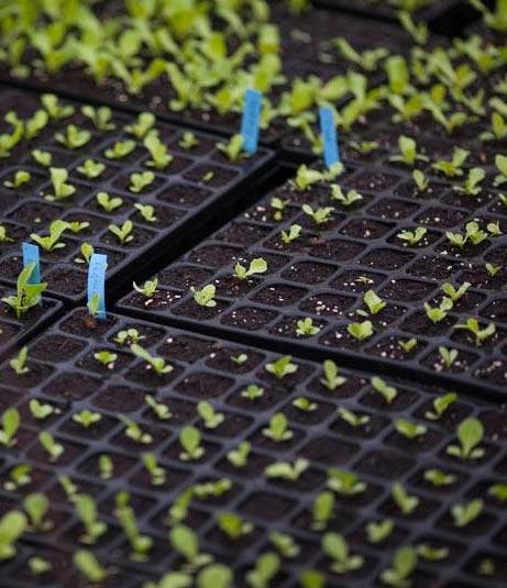 Levée de salades chez Karine, productrice de semences en Creuse