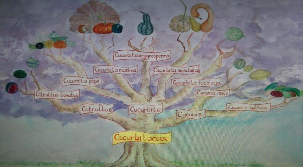 Arborescence des Cucurbitaceae ; source : Longo Maï