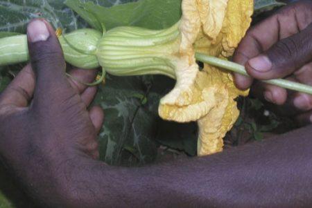 Pollinisation manuelle