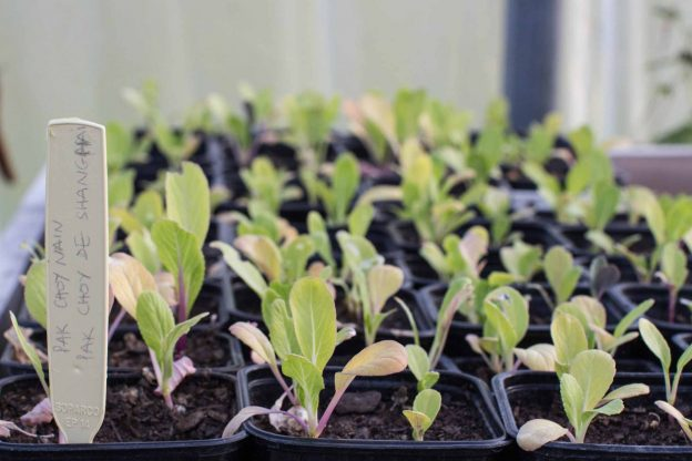 semis des choux