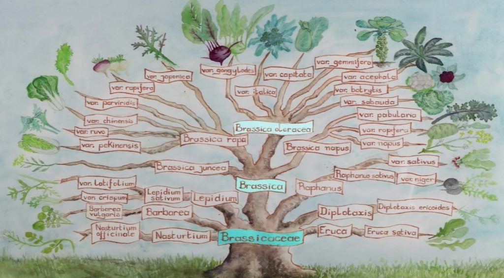Arborescence des Brassicacea ; source : Longo Maï