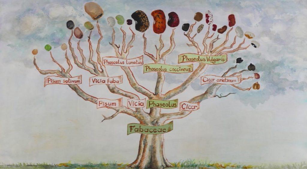 Arborescence des Fabaceae ; source : Longo Maï