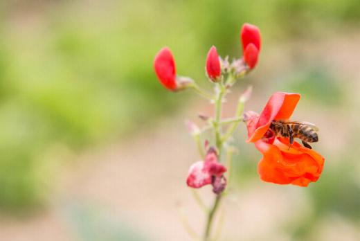 Variété de Phaseolus coccineus en fleur