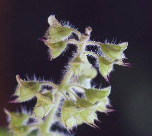 Pédicelle et calice d'Ocimum tenuiflorum. Photo de Laetitia Guillet