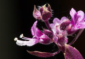 Fleur d'Ocimum basilicum. photo de Laetitia Guillet