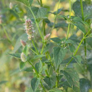 Agastache scrophulariafolia