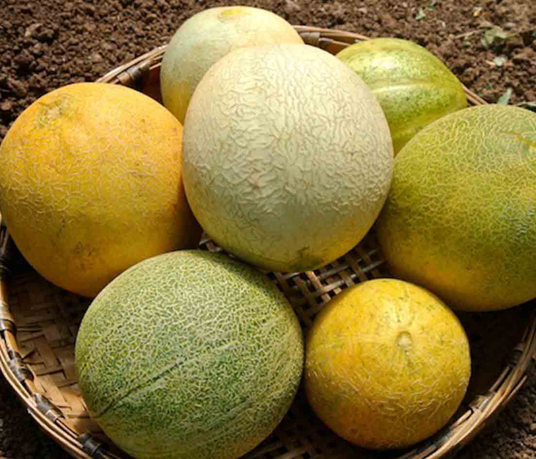 Melon Farthest North Galia