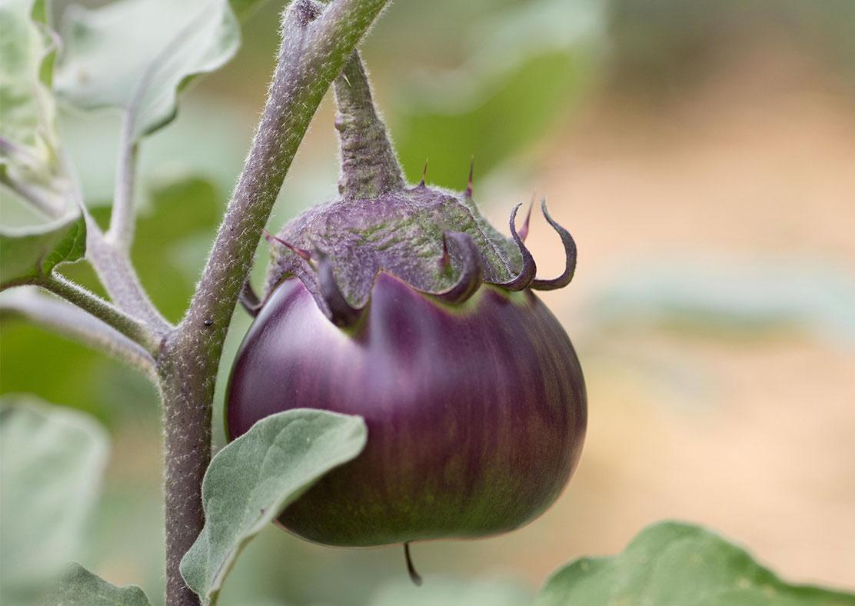 Fleur-Digitale-Digitale-F1 Dalmatian violet 50 graines enrobées Grand