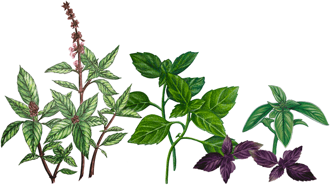 différentes variétés de basilic