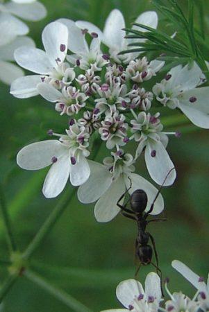 Fleur de Coriandrum Sativum