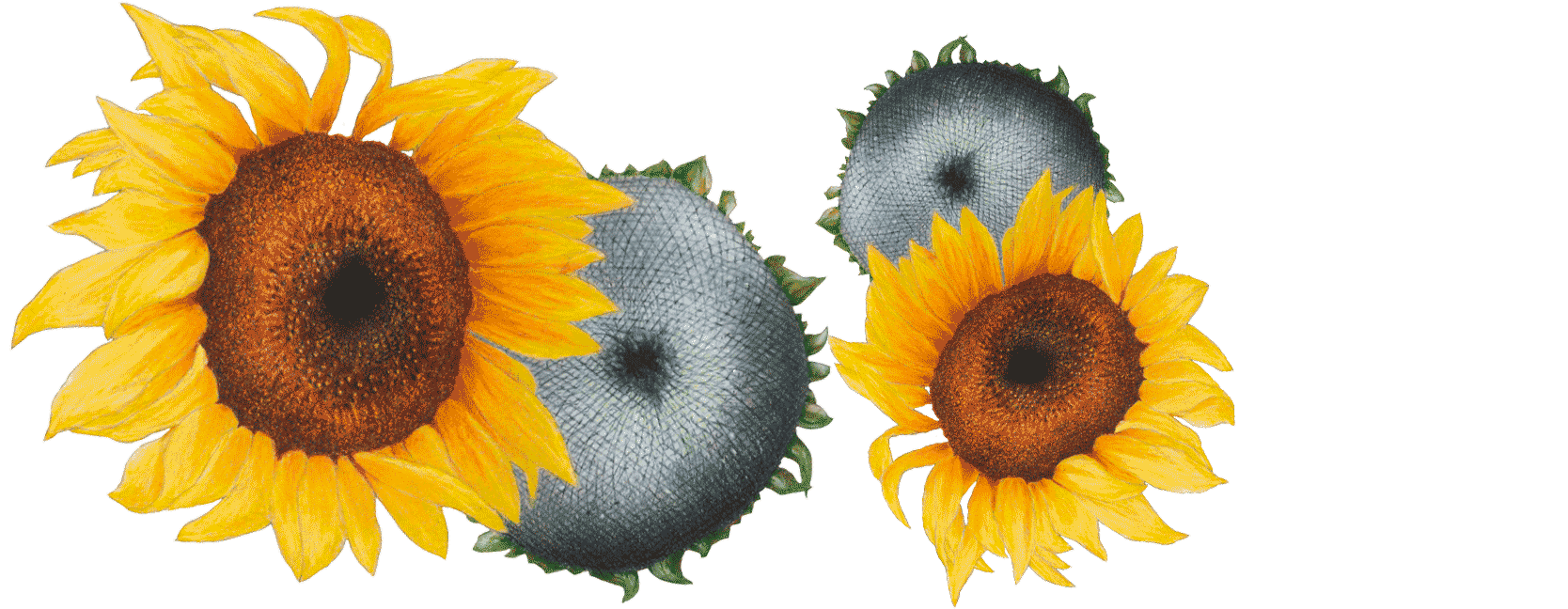 Illustration de Tournesol