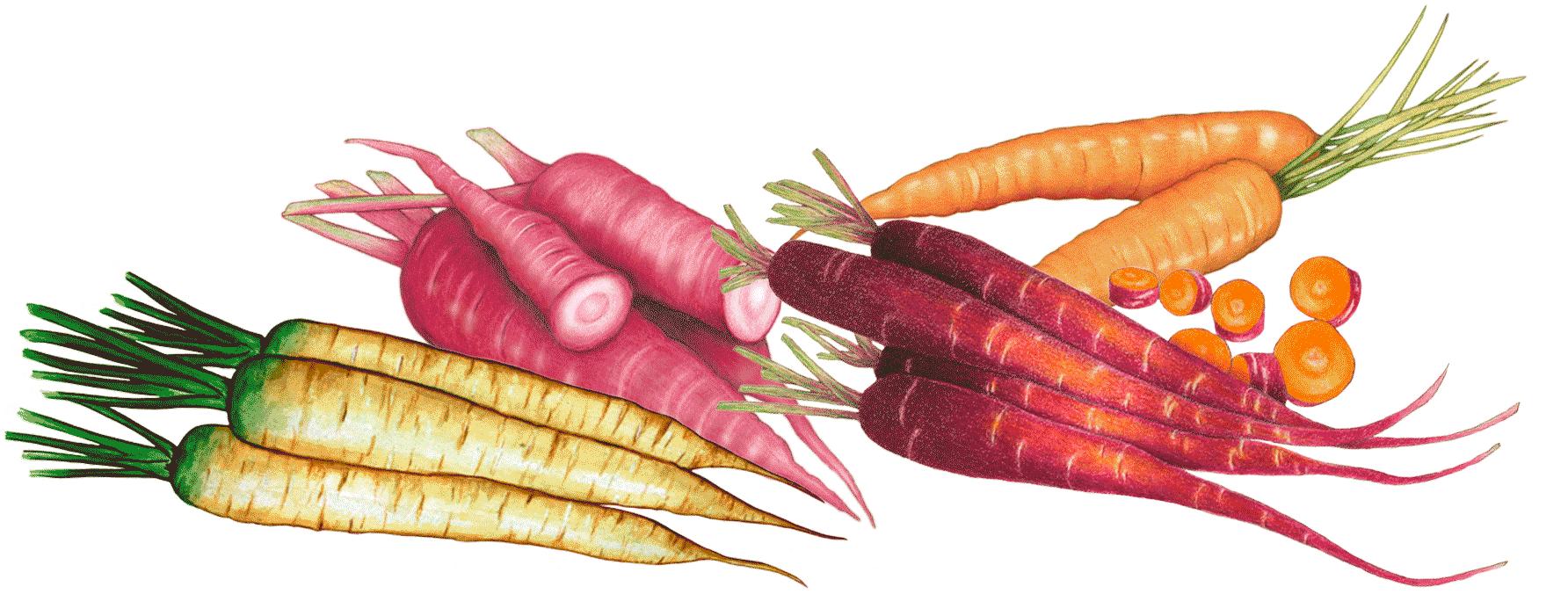 Illustrations de carottes