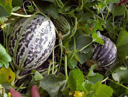 Melon aux Formes Rondes
