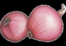 Illustration de l'oignon Saint-Turjan