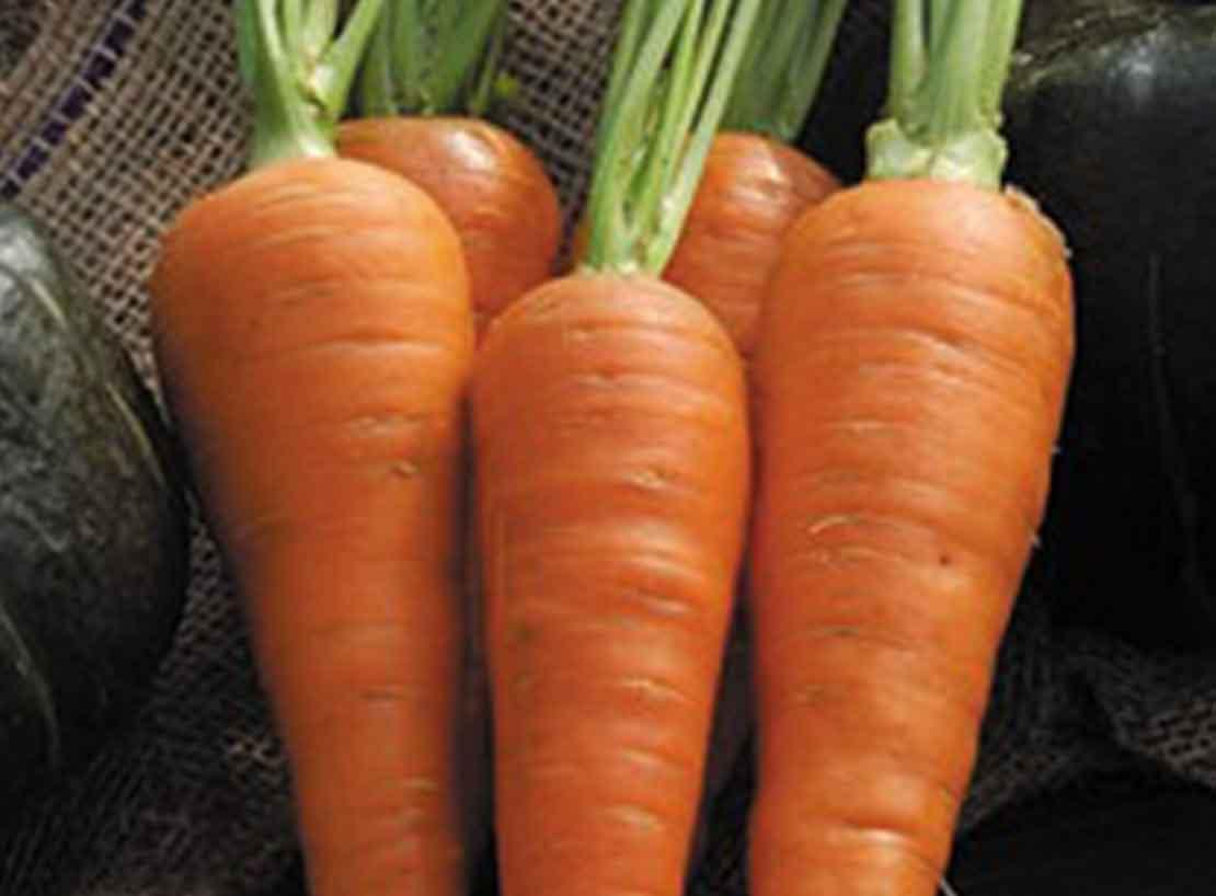Carottes orange Demi Longue de Danvers