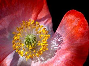 Etamines et pistil au cœur d'une fleur de pavot