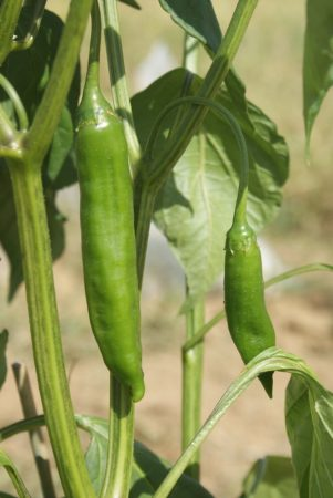 piment aji yellow