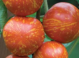 tomate bigarrée red zebra