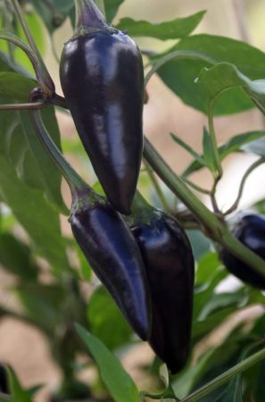 piment black hungarian