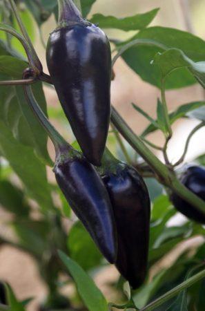 piment black hungarian
