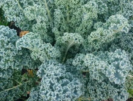 chou frisé Kale DWARF BLUE CURLED SCOTCH