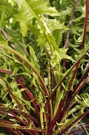 Chicorée frisée dandelion violet