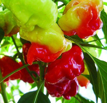 piment squash red