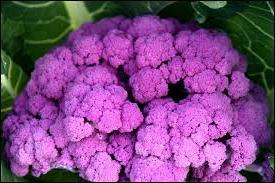 chou fleur violet de sicile