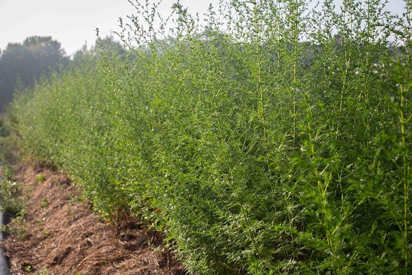 Culture de l'Artemisia annua
