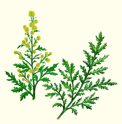 Artemisia_Annua-0