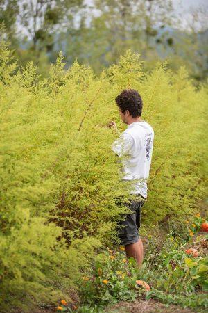 L'Artemisia annua peut atteindre plus de 2 m de haut
