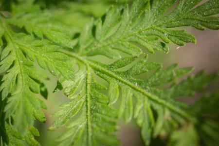 Feuille d'Artemisia annua